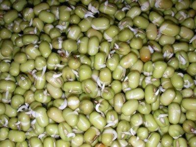 germogli di soia    3_giorno_400
