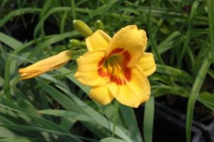 Hemerocallis Black Eyed Stella