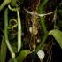 La dolce orchidea al sapor di Vaniglia
