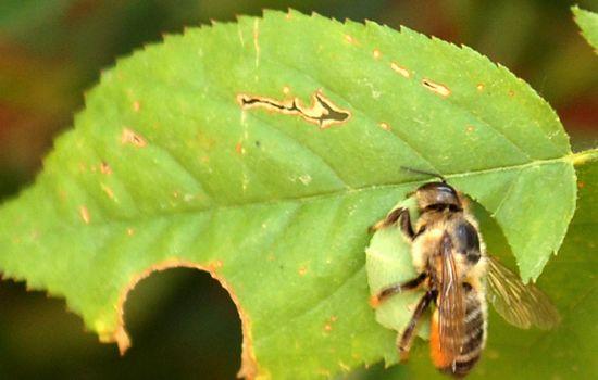 ape tappezziera riproduzione vietata
