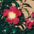Camellia sasanqua: a Natale fiorisce la Yuletide