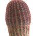 Echinocereus rubrispinus