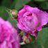 A dicembre si preparano le più belle fioriture di rose