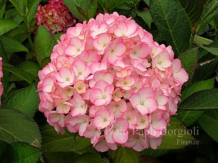 1268675017macrophylla_sabrina_2_big.jpg