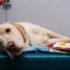 Apre a Milano il reparto trasfusioni per cane e gatto