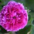 Rose antiche: corso di potatura e manutenzione da Mondorose