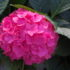 Ortensie da collezione: arriva la macrophylla Forever & Ever  a fioritura continua e abbondante