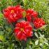 Piante insolite: la Yuletide e l'Helleborus orientalis due piante insolite da collezionare