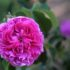 Le dolci ricette con rose, per una cucina naturale