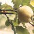 La cotogna: storia del frutto dimenticato