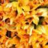 Cucina naturale: come aperitivo lo sformato ai fiori di zucca
