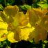 La Bella di Notte, il fiore del Perù dal quale si faceva il pane
