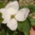 Cornus Venus dai fiori ricchi e il portamento elegante