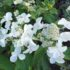 Hydrangea paniculata 'Levana' l'ortensia che ama il sole