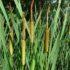 Typha latifolia: la farina del Paleolitico