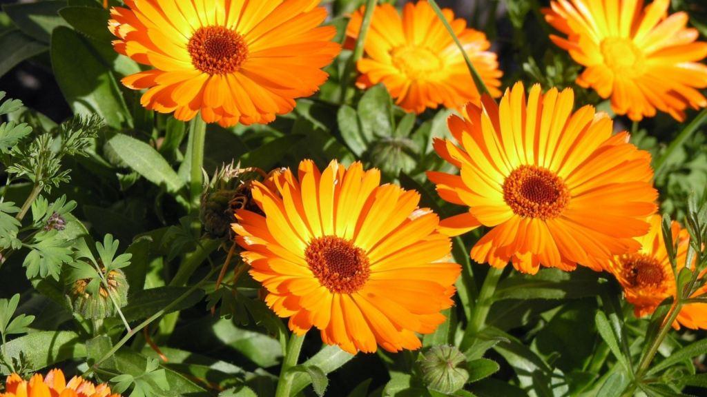 Fiori Da Piantare Nell Orto orto di marzo: i fiori per la lotta biologica