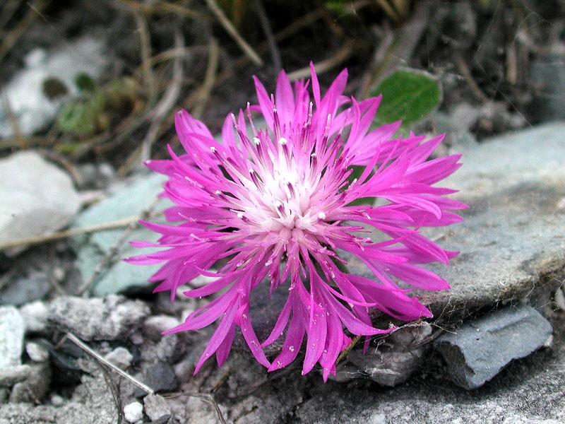 Centaurea_montisborlae_foto_di_Giuliano_Salvai.jpg
