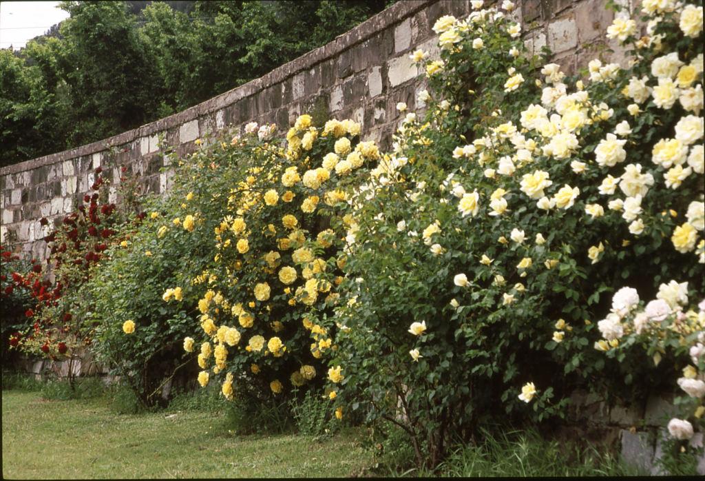 Rose Rampicanti Senza Spine rose rampicanti: ecco come scegliere quella giusta - stile