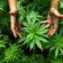 La marijuana sbarca sull'iPhone: da aprile si potranno scaricare le App