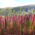 La quinoa: la madre di tutti i semi