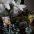Begonia rex in varietà per decorare la casa