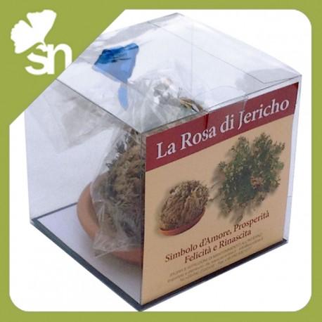 confezione-regalo-rosa-di-gerico-jericho-pianta-selaginella-lwpidophylla