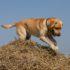 Cane Labrador: storia, razza e consigli