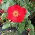 Il vino Sagrantino diventa una rosa a 6 petali