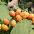 Fichi d'india: dal cactus marmellata e sciroppo