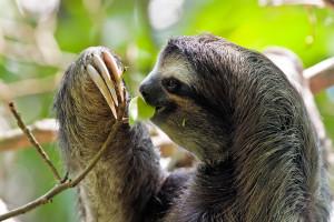 Costarica bradipo