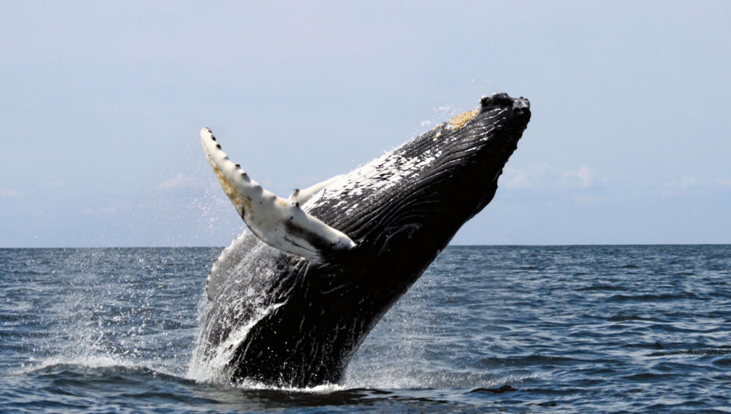 balene aperto