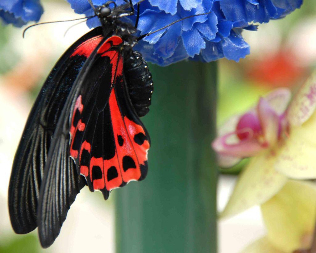 farfalle apertura