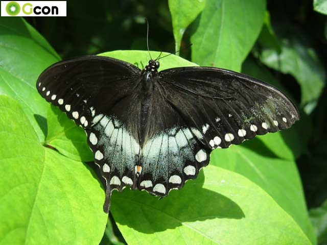 farfalle pinocchio