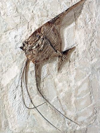 fossili bolca