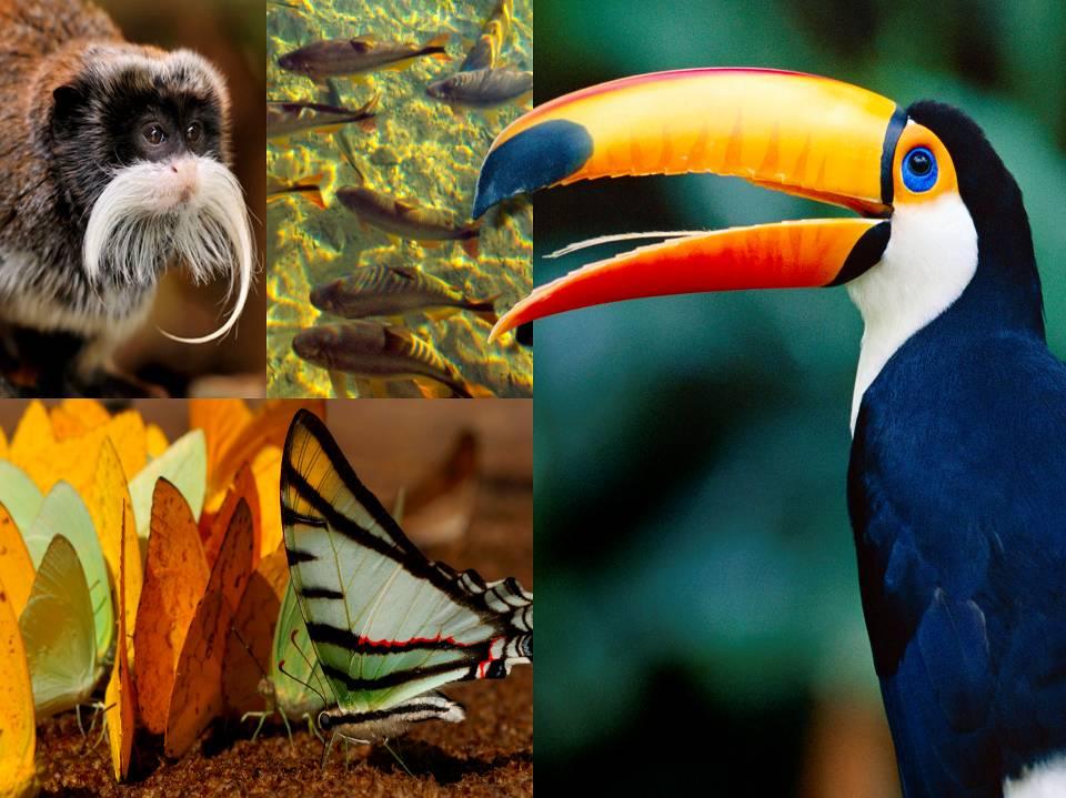 Amazzonia tucano