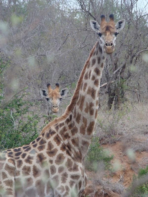 sudafrica giraffa