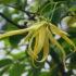 Ylang Ylang: tutti gli usi dell'olio essenziale