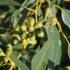 Eucalipto: tutti gli usi della pianta balsamica
