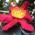 Camellia Yuletide: la regina dell'inverno