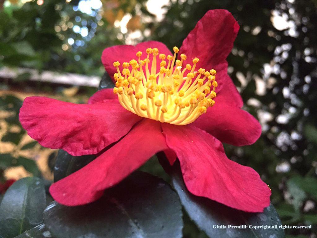 Camellia Yuletide Christmas camellia