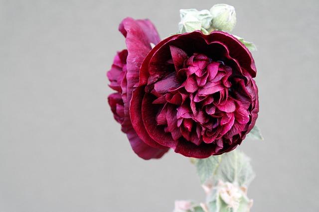 gastrite fiore di altea