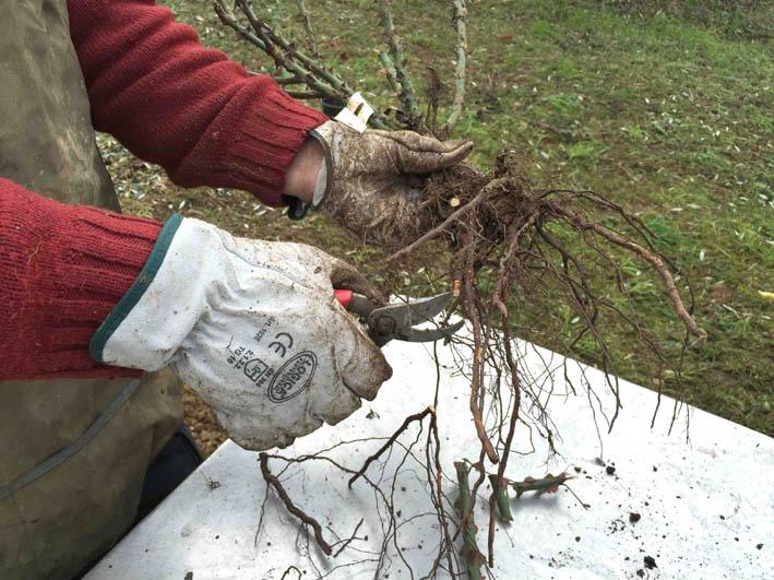 2 scorcio delle radici messa a dimora delle rose a radice nuda