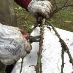 3 potatura dei rami messa a dimora delle rose a radice nuda