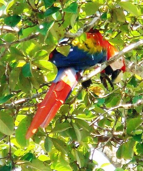 Una Ara del Bahia Drake costarica