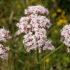 Valeriana, il rimedio naturale contro insonnia e nervosismo
