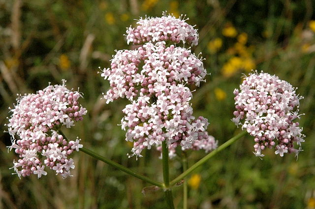 Valeriana.officinalis.-.lindsey