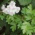 Biancospino: proprietà e benefici della pianta antistress