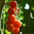 Pomodoro coltivazione: nell'orto, in vaso e in serra