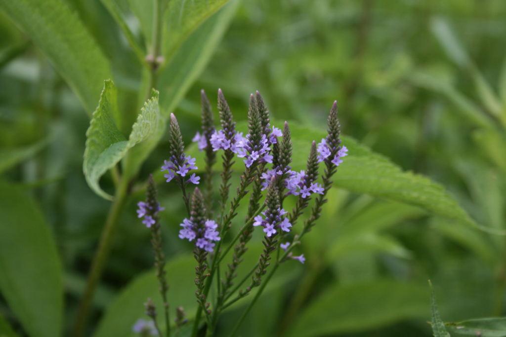 piante medicinali Verbena