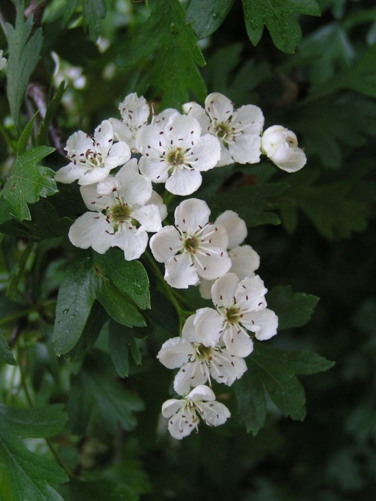 piante medicinali biancospino